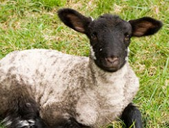 Dolly the Sheep and the Human Cloning Debate - 20 Years Later
